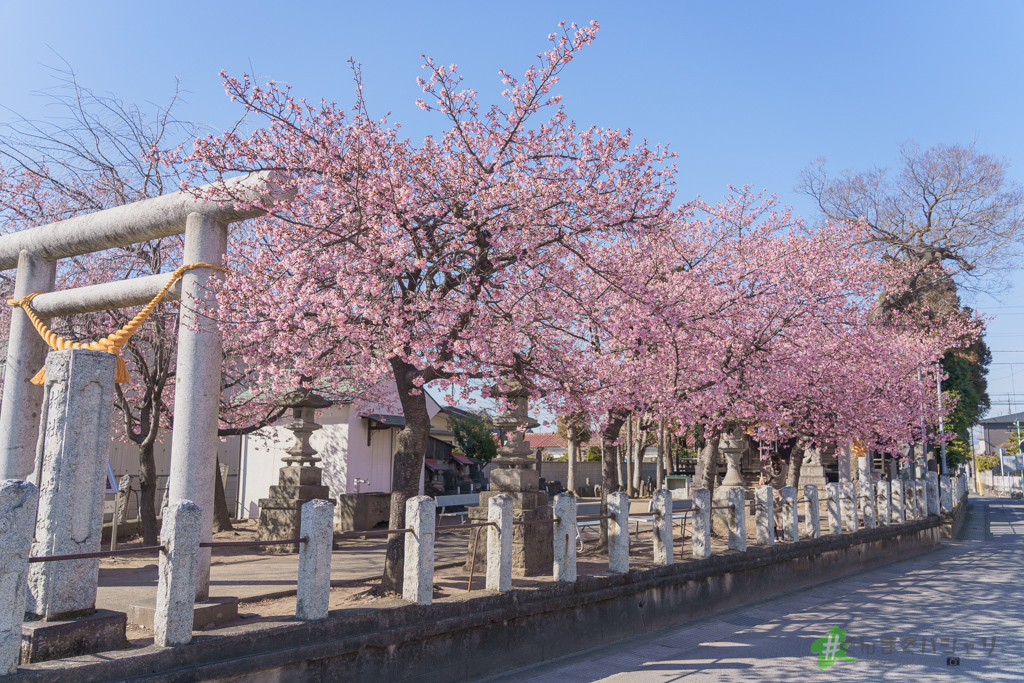 江田鏡神社の河津桜
