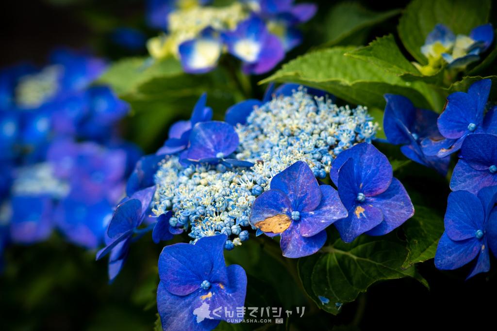 鼻高展望花の丘の紫陽花