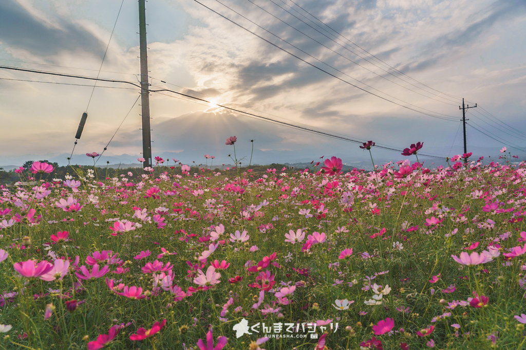 鼻高展望花の丘(コスモス)
